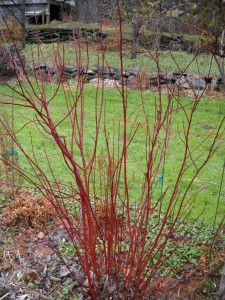 Red Twigged Dogwood