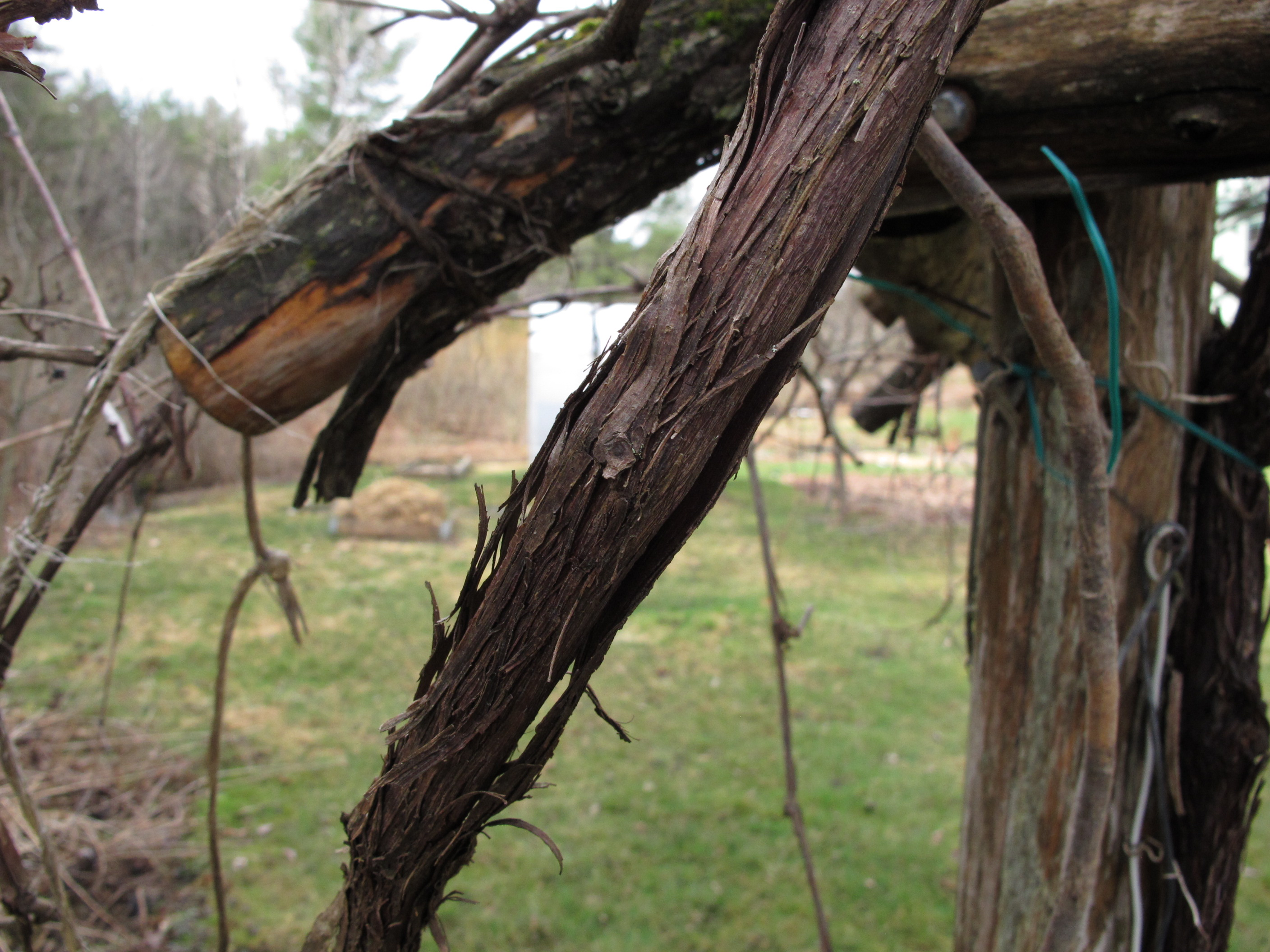 Pruning Grape Vines Archives Henry Homeyer