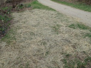 Light layer of hay over re-planted lawn