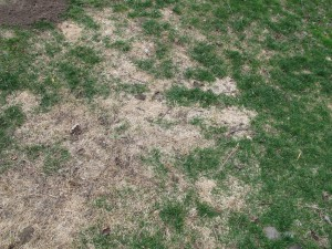Winter damaged lawn