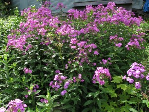 Phlox that needs to be divided to avoid powdery mildew