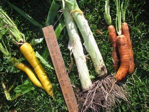 Yellow Sunshine carrots (L), Leeks, Yaya carrots (R)