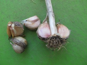 Harneck garlic showing central neck or stalk