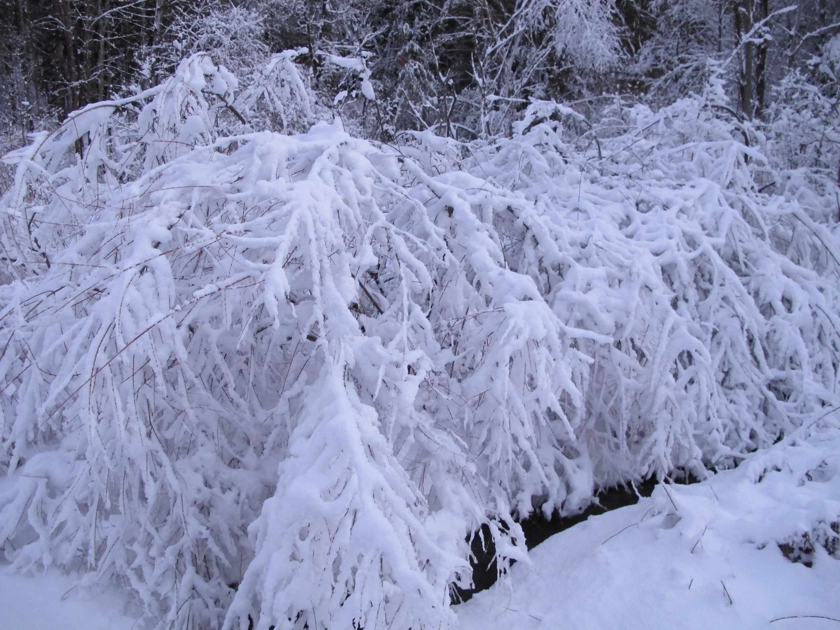 using your christmas tree to protect plants in winter henry homeyer
