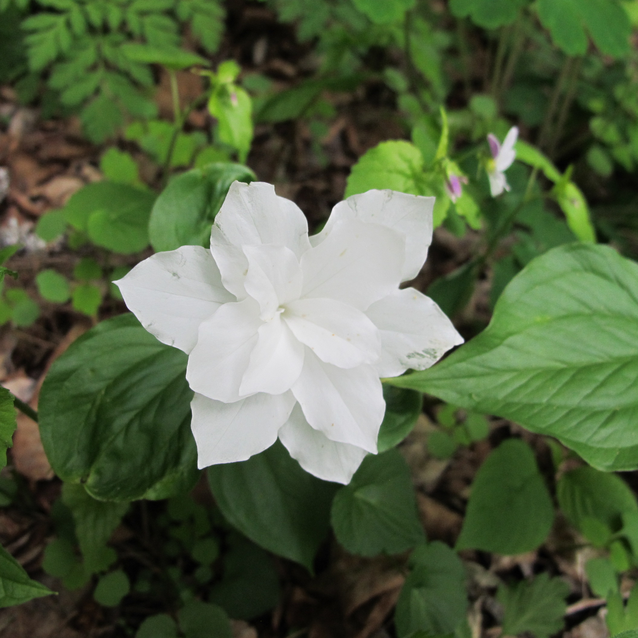 Double White Trillium Henry Homeyer