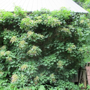 Climbing hydrangea on barn wall