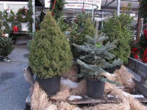 Potted Christmas trees looking for a new home