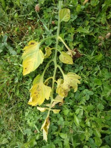 Leaves with early blight need to be removed